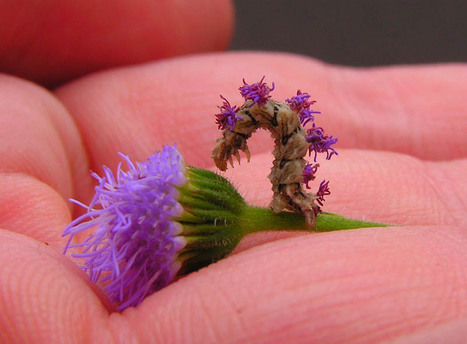 Crafty Caterpillar Puts Flowers on Back for Camouflage | Inspired By Design | Scoop.it