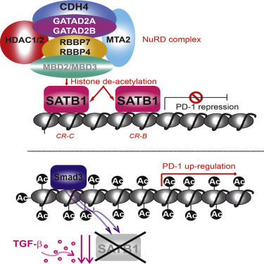 SATB1 Expression Governs Epigenetic Repression of PD-1 in Tumor-Reactive T Cells | Melanoma BRAF Inhibitors Review | Scoop.it