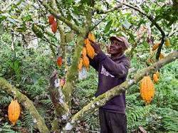 Ellembelle District cocoa farmers embrace savings plan - GhanaWeb | Fairly Traded News | Scoop.it