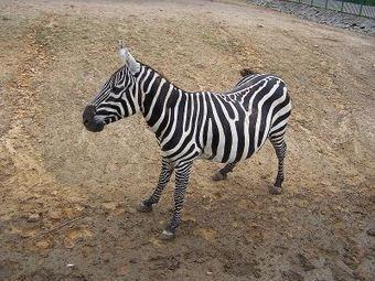 Urge Racetrack to Cancel Cruel Zebra and Ostrich - STOP ANIMAL ... | Rhino poaching | Scoop.it