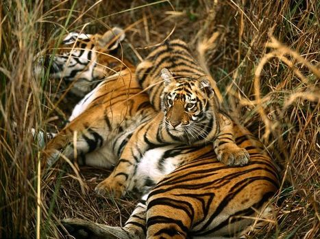 Facts About Tigers For Kids | Top 21 | Conservation of wildlife | Scoop.it