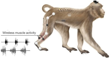 Researchers restore leg movement in primates using wireless neural interface | KurzweilAI | Science And Wonder | Scoop.it