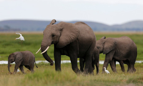 Elephants Just Became Safer Because China Is Banning The Sale Of Ivory | Pachyderm Magazine | Scoop.it