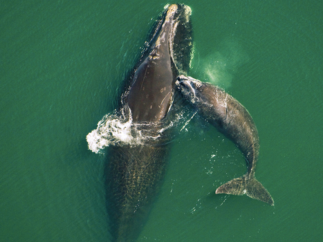 North Atlantic Right Whales | Globicate - Global Education for a New Generation | Scoop.it