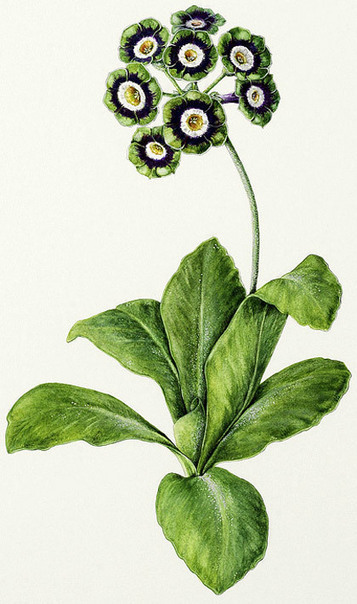 The Auricula Collection | Hazel West-Sherring | Botanical Artist | Auriculas and  other Gardening topics | Scoop.it