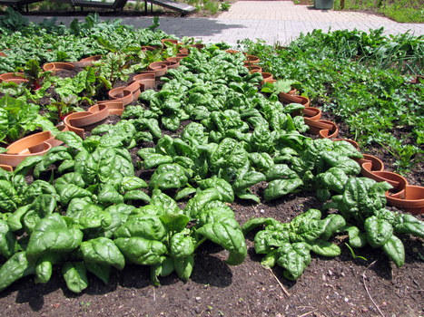 Time to Plant Spinach | School Gardening Resources | Scoop.it