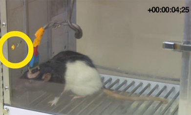 Brains of rats connected allowing them to share information via internet   The 21st Century   Scoop.it