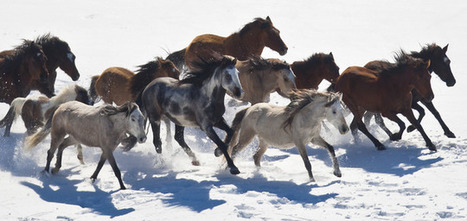 Utah wild horse roundup part of controversial program | Equitation éthologique | Scoop.it