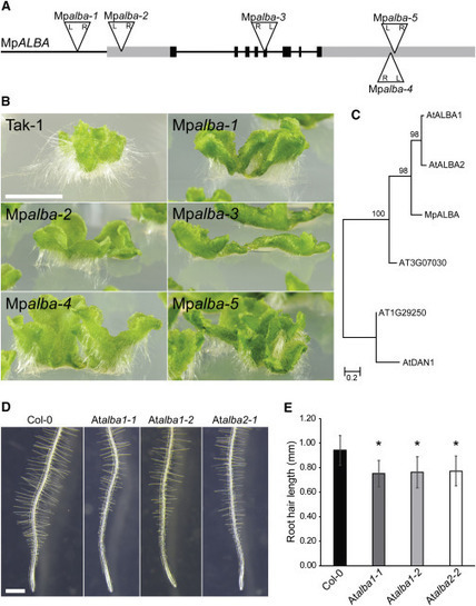 The Mechanism Forming the Cell Surface of Tip-Growing Rooting Cells Is Conserved among Land Plants | Plant Gene Seeker -PGS | Scoop.it