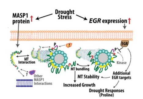 IN BRIEF: Fine-tuning plant growth in the face of drought | Emerging Research in Plant Cell Biology | Scoop.it