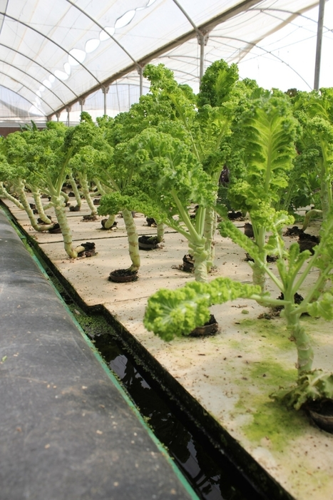 EGYPT - Farming Fish and Lettuce in the Egyptian Desert | Aquaponics in Action | Scoop.it