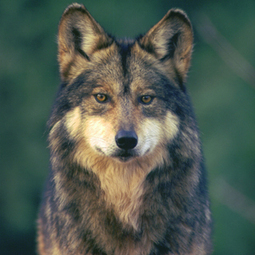 Tell the Feds: Save Mexican Gray Wolves | Corinne | Scoop.it