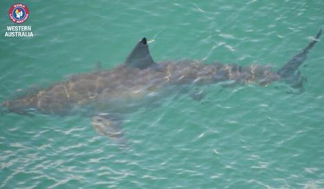 Tweeting sharks help keep swimmers safe - Your Community | Online Social Media Tools | Scoop.it