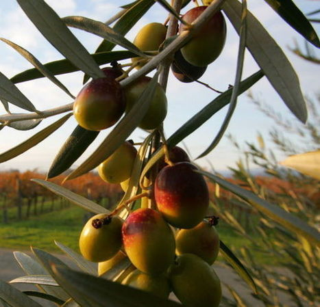 When to harvest olives and what to do with them | CALS in the News | Scoop.it
