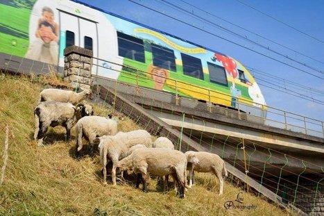 La SNCF recrute des moutons pour désherber ses voies | Transitions | Scoop.it