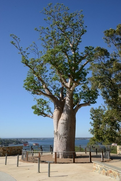 Popular boab tree is fighting fit | Australian Plants on the Web | Scoop.it