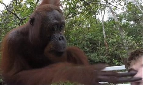 Rumble in the jungle: Orangutan slaps a tourist in the face | MORONS MAKING THE NEWS | Scoop.it