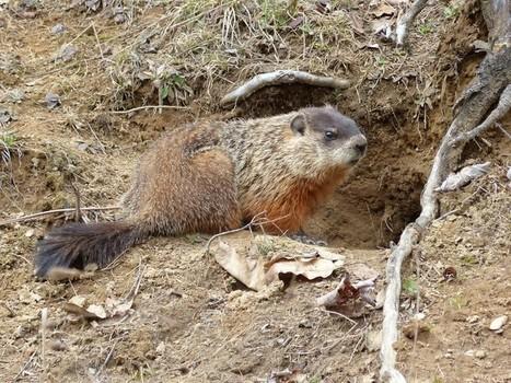 Photo de Mammifère : Marmotte commune - Marmota monax- Groundhog  - Page 2 | Fauna Free Pics - Public Domain - Photos gratuites d'animaux | Scoop.it
