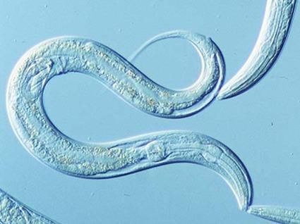 Gusanos transparentes para estudiar los microbios | microBIO | Scoop.it