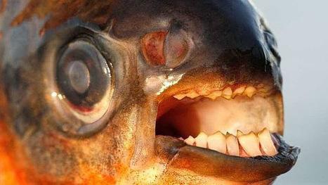 2013  peces peligrosos. | BROTES DE NATURALEZA | Scoop.it