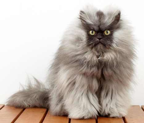 Colonel Meow, Celebrity Cat | English Listening Lessons | Scoop.it