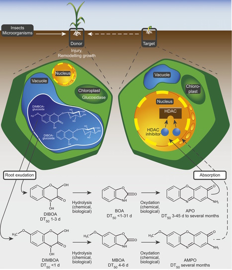 Plant Cell: Plants Release Precursors of Histone Deacetylase Inhibitors to Suppress Growth of Competitors (2015) | Plants and Microbes | Scoop.it