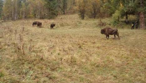 Wildlife Extra News - European bison relocated to the Caucasus Mountains   Saving the Wild: Nature Conservation in the Caucasus   Scoop.it