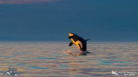 Was This Orca Born Before World War I? | Our Evolving Earth | Scoop.it