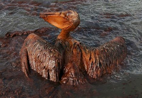 Brown pelicans rebounding after Gulf oil spill | Africa: It's NOT a Country! | Scoop.it