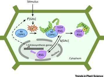 CDPKs and 14-3-3 Proteins: Emerging Duo in Signaling | Emerging Research in Plant Cell Biology | Scoop.it