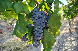 Revived wine grapes may beat climate change - Torres | Grande Passione | Scoop.it