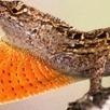 Lizard evolution studied by scientists - San Francisco Chronicle | Biology@BellaOnline | Scoop.it