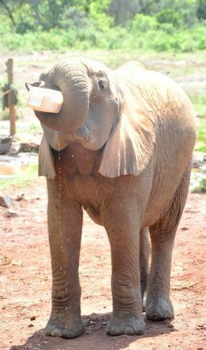 calves orphaned by poaching - Coastweek | My Funny Africa.. Bushwhacker anecdotes | Scoop.it