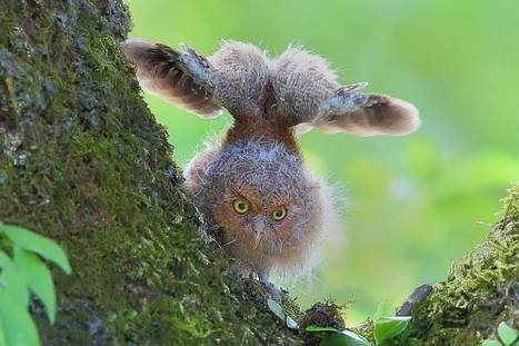 Young Mountain Scops owl by Dajan Chiou | Interesting Photos | Scoop.it