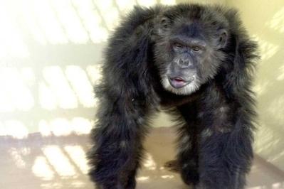 Prohibido experimentar con grandes simios   Ciencia, política y Derecho   Scoop.it