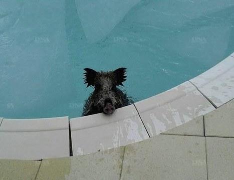 Un sanglier dans la piscine | Biodiversité | Scoop.it