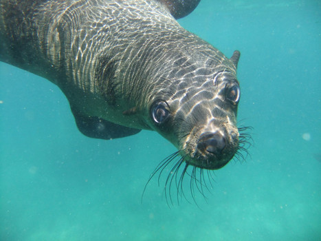 Seals May Have Carried Tuberculosis To The New World – Phenomena: Not Exactly Rocket Science | Viruses and Bioinformatics from Virology.uvic.ca | Scoop.it