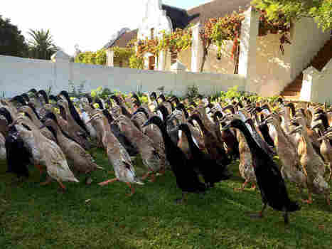 For This Vineyard, It's Duck, Duck, Booze | Renew Cities: Environmental Sustainability | Scoop.it