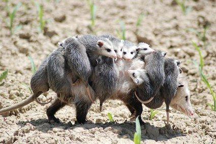 Abundance: The incredible opossum | BROTES DE NATURALEZA | Scoop.it