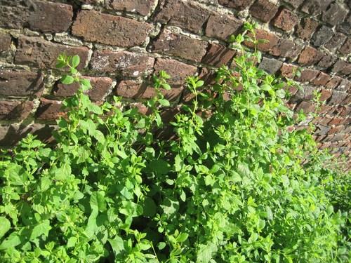 Sant bien tre plante anti moustique la m lisse - Plante grimpante anti moustique ...