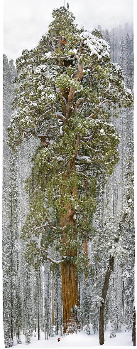 This 3,200-Year-Old Tree Is So Big, It's Never Been Captured In A Single Photograph... Until Now | The Landscape Café | Scoop.it