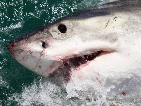Sharks are 'nine times more likely' to kill men than women in unprovoked attacks | Infospectives - Science | Scoop.it