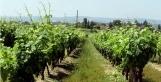 Chute de la production du muscadet et beaujolais - Le Figaro L'Avis du Vin | Autour du vin | Scoop.it