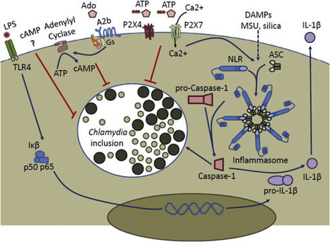 The inflammasome: Friend or foe in Chlamydia infection? | Host Cell & Pathogen Interactions | Scoop.it