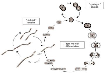 Les secrets d'adaptation de la «bactérie du désert» - Communiqués et dossiers de presse - CNRS | RoshiRashed | Scoop.it