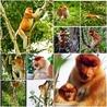Bekantan - Wild Indonesia