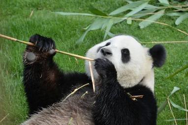 Les excréments des pandas de Pairi Daiza examinés à la loupe - Nord Eclair | Pays Vert | Scoop.it