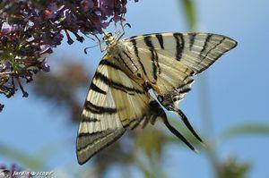 Le JardinOscope : Les papillons qui virevoltent dans mon jardin cet été... | pour mon jardin | Scoop.it