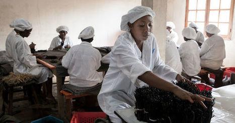 Vanille de Madagascar, le goût amer de la spéculation | Questions de développement ... | Scoop.it