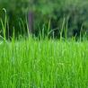 Au pays de la pelouse parfaite